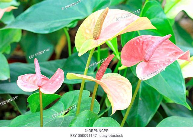 Colorful flamingo flower