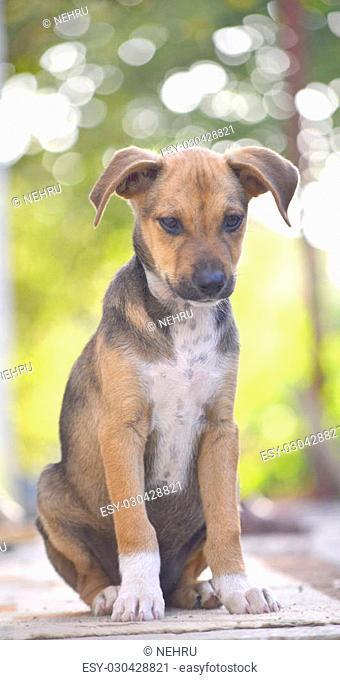 Cute Puppies of Amstaff dog, animal theme