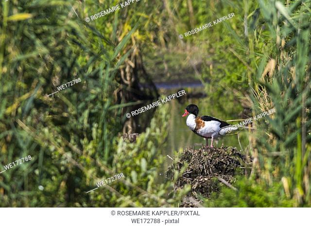 A common shelduck in the reed of wagbach-valley