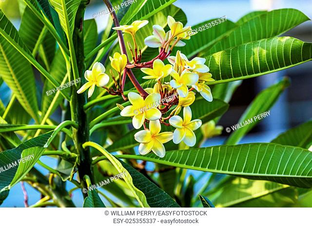 Plumeria Frangipini Blossums Flowers Sea of Galilee Israel. Used to make flower leis in Hawai, also used to produce perfume because of fragarance