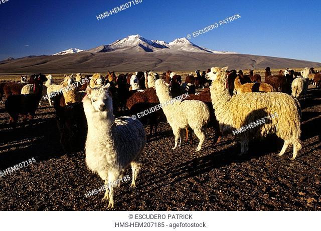 Bolivia, Oruro Department, Sajama Province, Sajama National Park, herd of llamas and alpacas