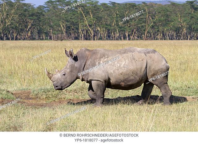 White Rhinoceros Ceratotherium simum in savannah, Lake Nakuru National Park, Kenya