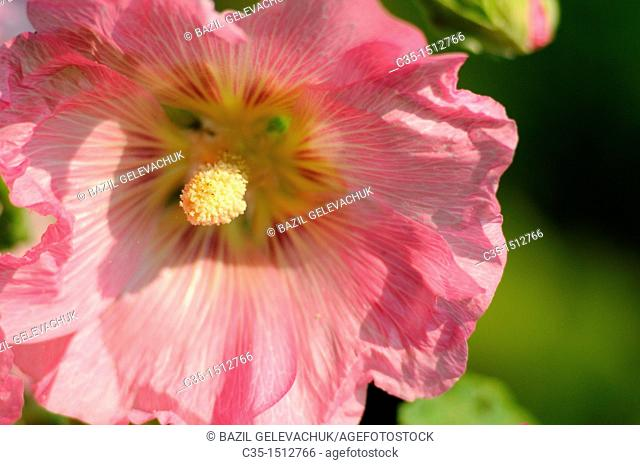 Flower Althaea rosea