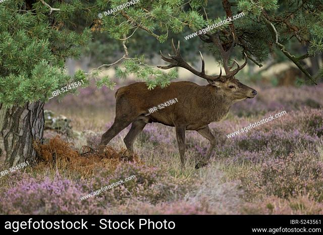 Red deer in the Hoge Veluwe National Park, Cervus elephus L, Netherlands