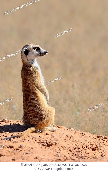 Meerkat (Suricata suricatta), adult sitting on a sandy mound, attentive, Kgalagadi Transfrontier Park, Northern Cape, South Africa, Africa