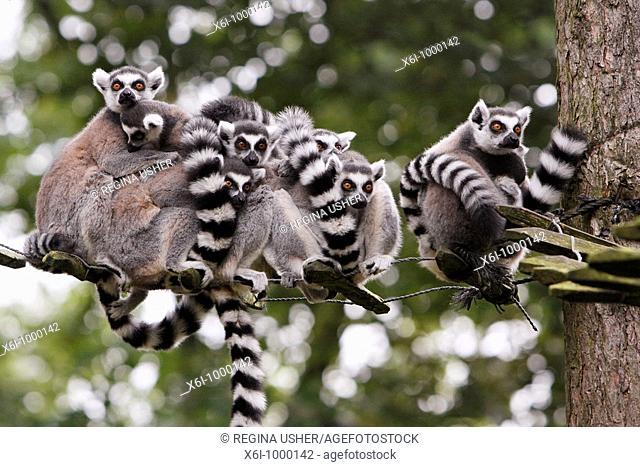 Ring-tailed Lemur Lemur catta, family group huddling together on tree ladder