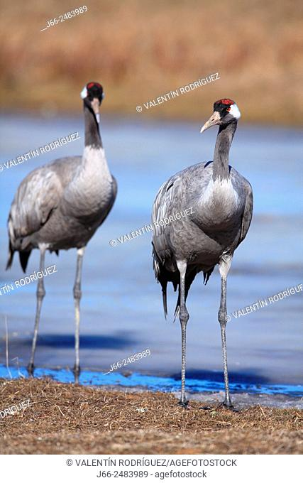 Two crane (Grus grus) in the wildlife reserve Gallocanta. Zaragoza. Spain