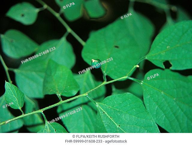 Hackberry Celtis occidentalis fruit
