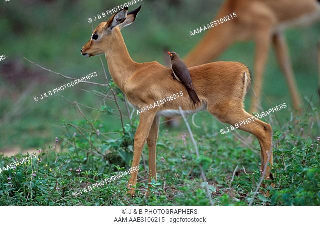Impala & Redbill oxpecker (Aepyceros Melampus/ buphagus erythrorhynchus)Kruger NP,RSA