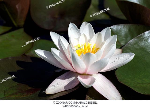 Seerose (Nymphaea) im Teich