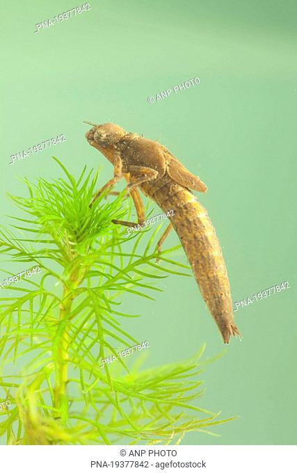 Hairy Dragonfly Brachytron pratense - National Park Weerribben-Wieden, De Weerribben, duck decoy de Kooi van Pen, Wetering, Steenwijkerland, Overijssel