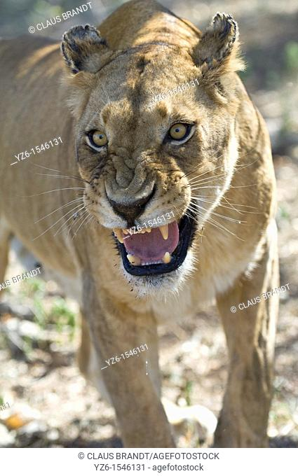 Lioness (Panthera leo) showing aggression, Kruger National Park, South Africa
