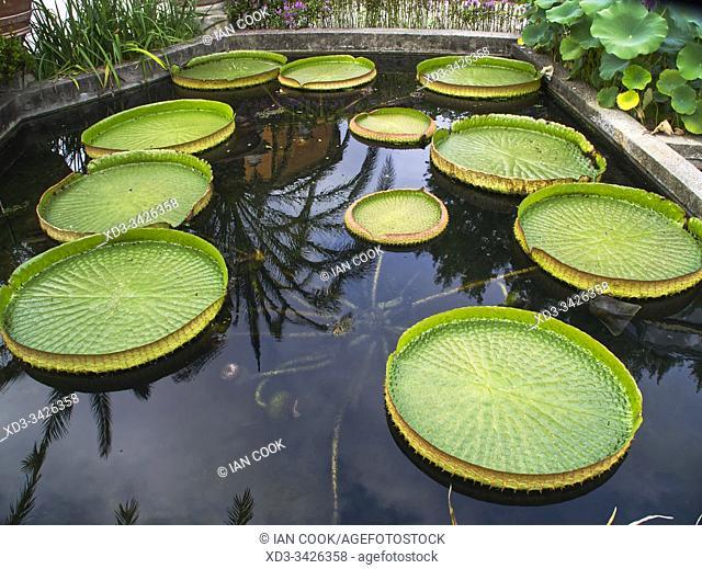 Santa Cruz water lily, Victoria cruziana, Botanical Garden, Padua, Venito Region, Italy