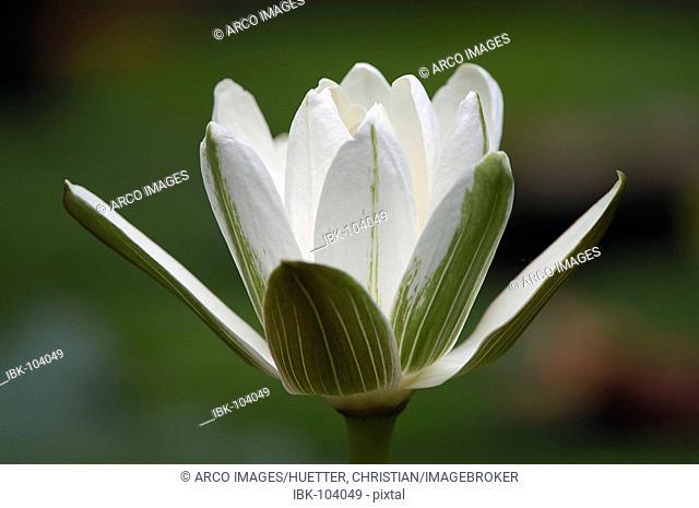 White Egyptian Lotus (Nymphaea lotus)