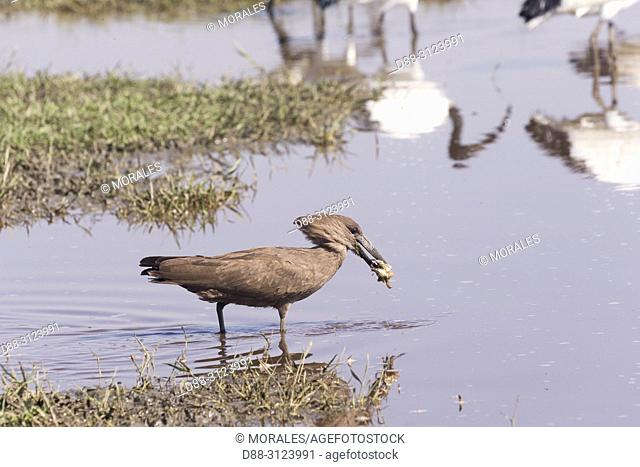 Africa, Ethiopia, Rift Valley, Ziway lake, Hamerkop (Scopus umbretta), in the water