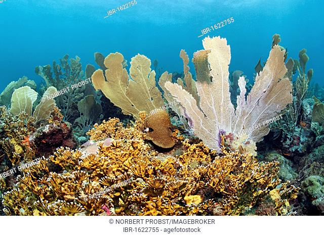 Coral reef, Venus sea fans (Gorgonia flabellum), Branched fire coral (Millepora alcicornis), yellow, Little Tobago, Speyside, Trinidad and Tobago