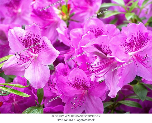 Purple rhododendron blossoms, Hampshire, England