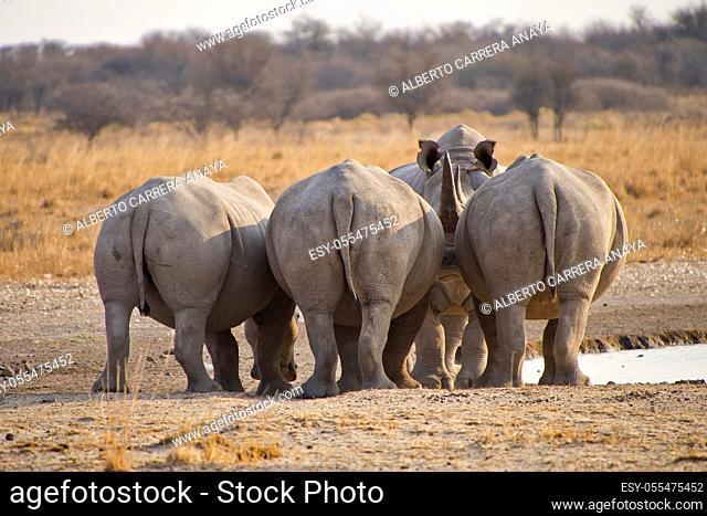 White Rhinoceros, Ceratotherium simum, Square-lipped Rhinoceros, Khama Rhino Sanctuary, Serowe, Botswana, Africa