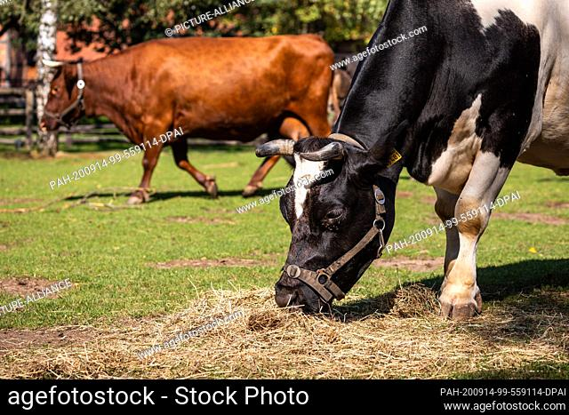 14 September 2020, Lower Saxony, Hanover: An Old German black and white lowland cattle (in front) is standing on a pasture in Hannover Adventure Zoo in front of...