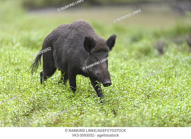 Wild boar, Sus scrofa, Hesse, Germany, Europe