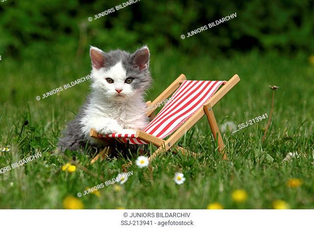 Selkirk Rex. Kitten next to a deckchair on a flowering meadow. Germany