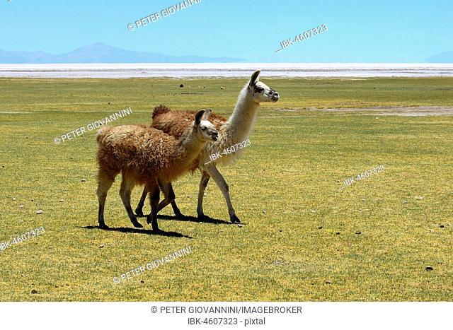 Llama with young on the meadow (Lama glama), Salar de Uyuni, Tahua, Potosi, Bolivia