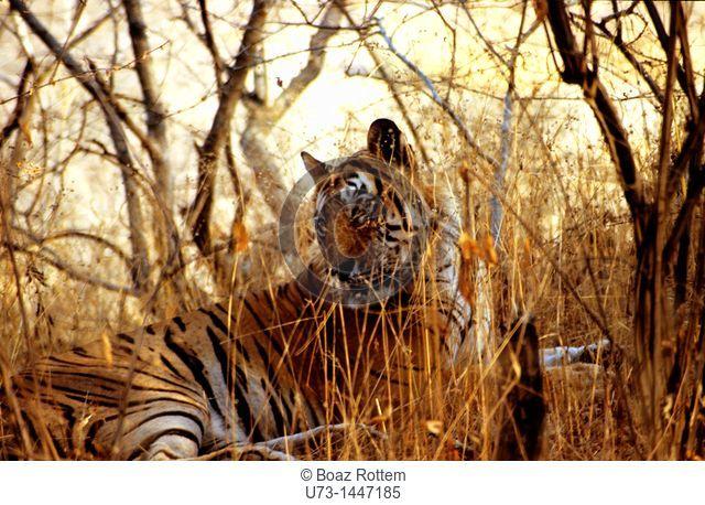 A beautiful Bengali Tiger in Ranthambore national park, Rajasthan, India