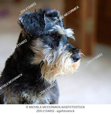 A miniature schnauzer stares intently