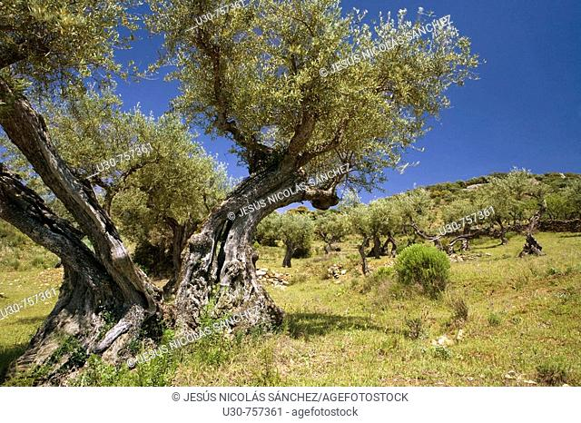 Olive trees in the Natural Park of Arribes del Duero, Vilvestre, Salamanca, Castilla y Leon, Spain, Europe