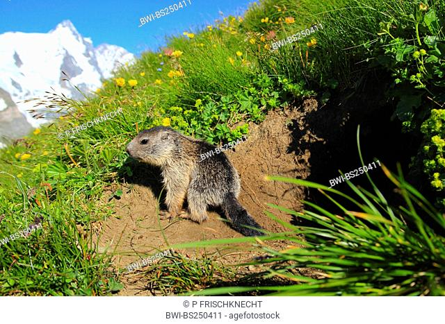 alpine marmot Marmota marmota, juvenile at the den in a mountain meadow in front of panoramic view of Grossglockner, Austria, Hohe Tauern National Park