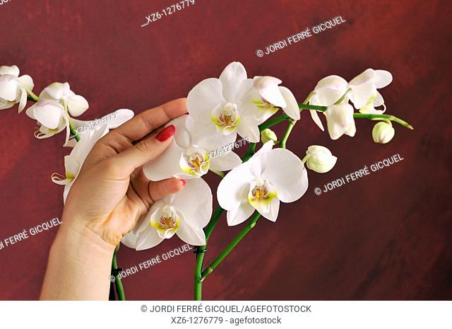 Hands of young woman stroking an orchid