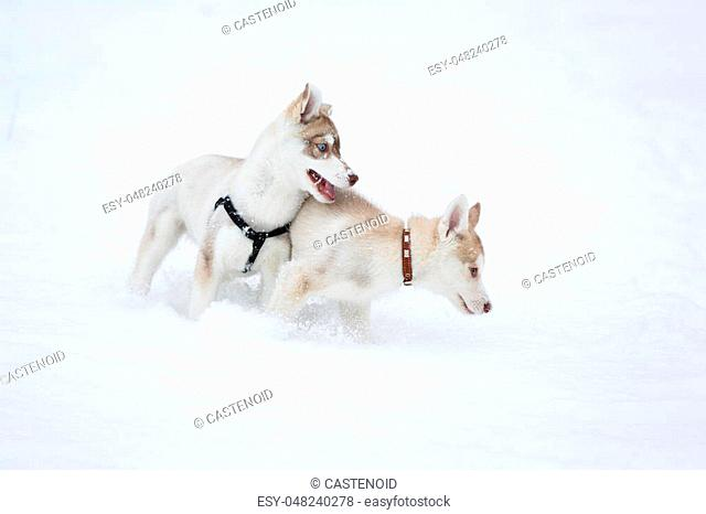 Playful husky puppies in the snow in the winter