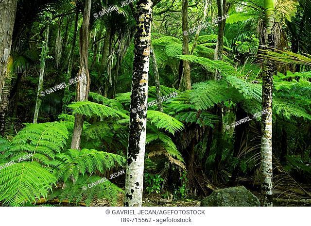 New Zealand, Haast Valley, Westland, Soft Tree Fern Forest, Cyathea smithii