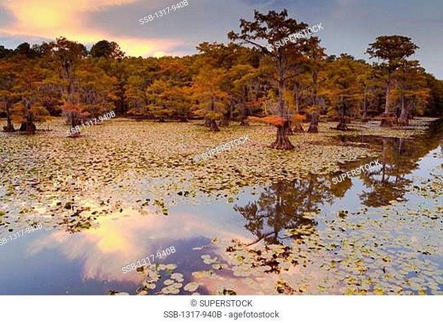 Bald cypress trees with Spanish moss in a swamp, Cypress Swamp, Caddo Lake, Texas-Louisiana, USA