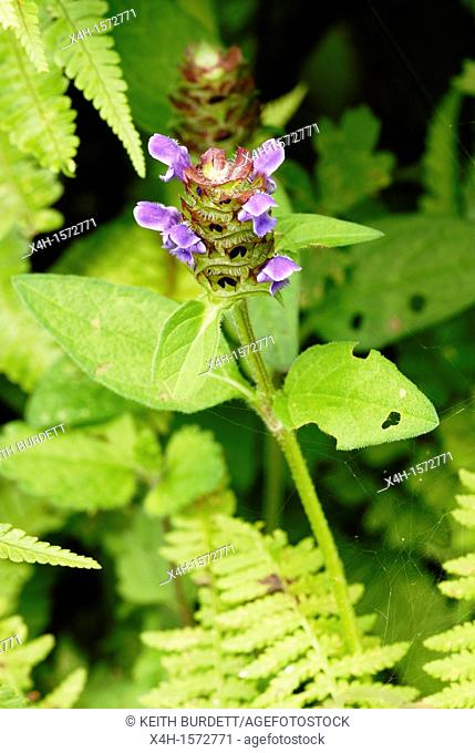 Prunella vulgaris, Self Heal, Wales
