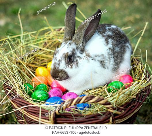 ILLUSTRATION: A rabbit sits in a wicker basket with colored eggs in Sieversdorf (Brandenburg), Germany, 05 March 2016. - model released - Photo: Patrick...