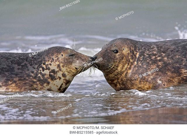gray seal (Halichoerus grypus), greeting in shallow water, Germany, Schleswig-Holstein, Heligoland