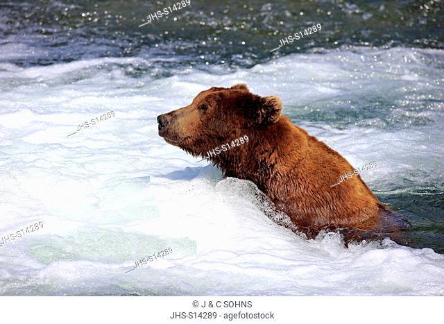 Grizzly Bear, (Ursus arctos horribilis), adult foraging in water, Brookes River, Katmai Nationalpark, Alaska, USA, North America