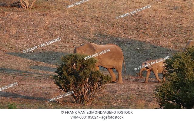 African Elephant herd passing by Loxodonta africana. Mashatu, Botswana