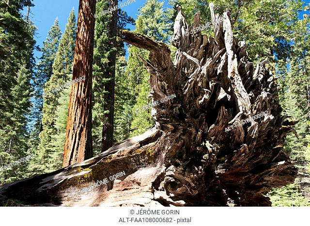 Fallen tree in giant sequoia grove, Yosemite National Park, California, USA