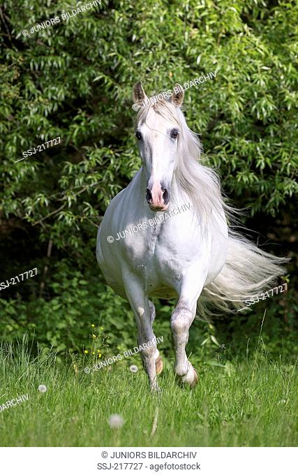 Pure Spanish Horse, Andalusian. Gray stallion galloping on a pasture. Germany