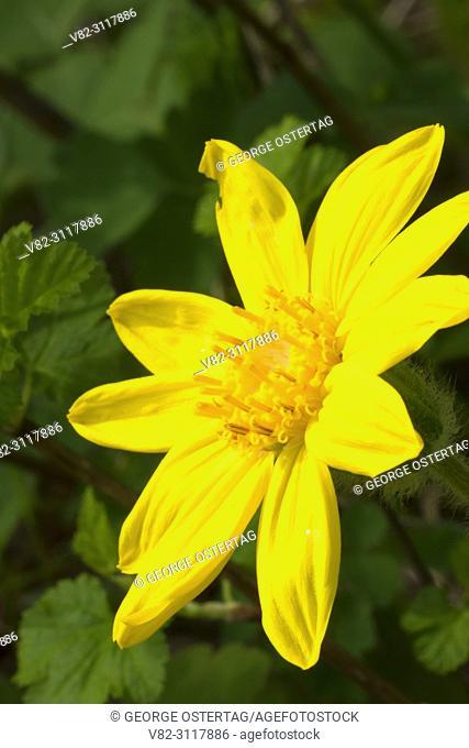 Arnica flower, Absaroka Beartooth Wilderness, Gallatin National Forest, Montana