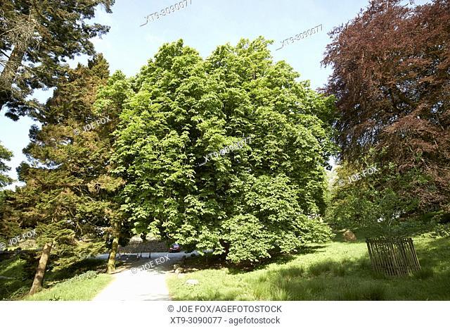 large horse chestnut tree lake district cumbria england uk