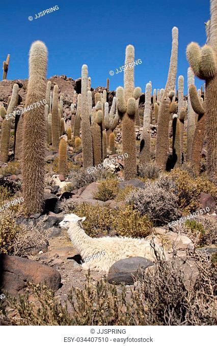 Lama sits in Huge Cactuses at Isla del Pescado, Salar de Uyuni, Bolivia