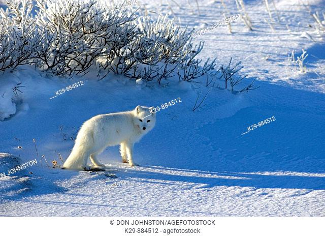 Arctic fox Alopex lagopus Hunting