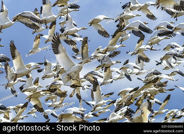 Many Snow Geese Taking Off and Flying Skagit Valley Washington