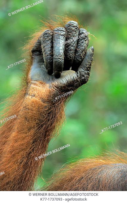 Hand of an Orang Utan Pongo pygmaeus, Tanjung Puting National Park, Province Kalimantan, Borneo, Indonesia