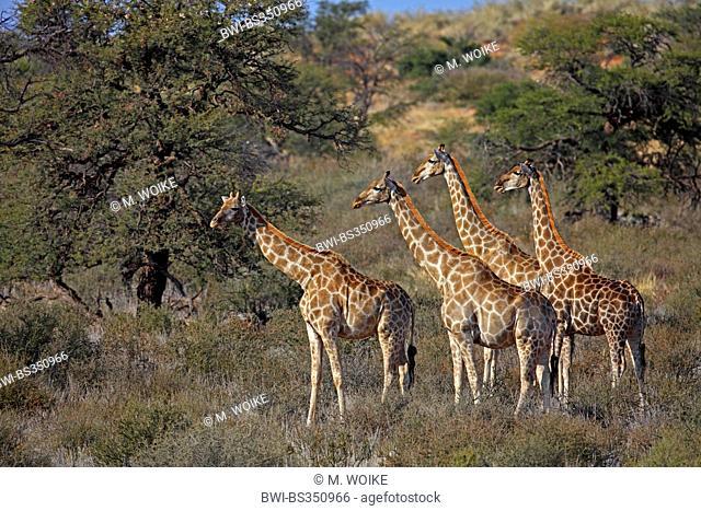giraffe (Giraffa camelopardalis), group in African savanna, South Africa, Kgalagadi Transfrontier National Park