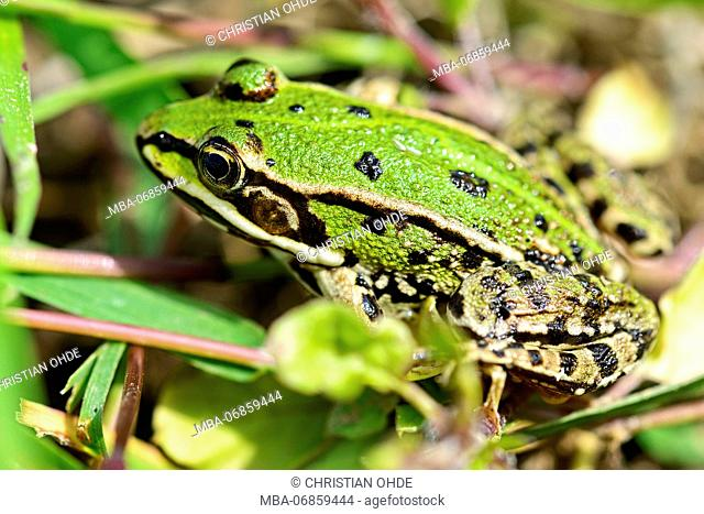 green frog, Pelophylax kl. esculentus