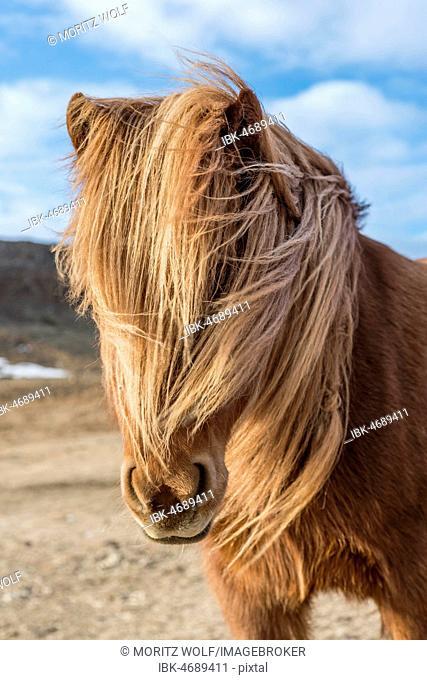 Icelandic horse (Equus przewalskii f. caballus), brown, with blown mane, animal portrait, Southern Iceland, Iceland